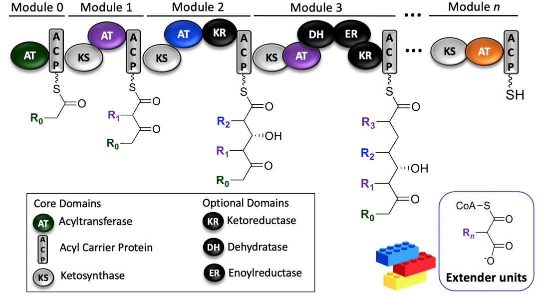 Example of the multi-modular machinery of polyketide synthases